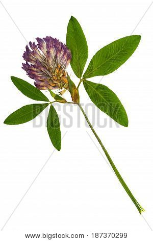 Pressed and dried delicate flower alfalfa on stem with green leaves. Isolated on white background. For use in scrapbooking floristry (oshibana) or herbarium.