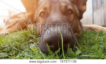 Muzzle of a dog with a focus on the nose
