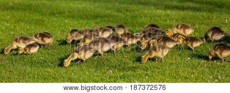 Panoramic image of a gaggle of Canada goose (branta canadensis) goslings feeding in a green field in Wisconsin