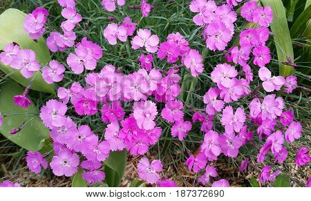 Beautiful pink flowers of carnation close up