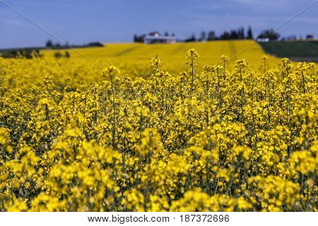 Yellow canola or rape field and blue cloudy sky agriculture background spring nature landscape.