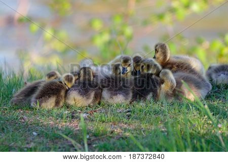 Close-up of Canada goose (branta canadensis) goslings taking a nap