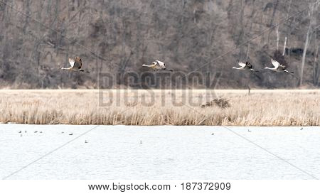 Sandhill Cranes Fly Quickly over a Pond