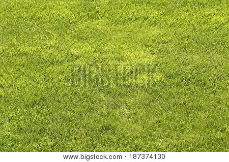Natural green shorn lawn close up background