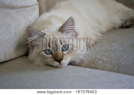 Purebred Neva Masquerade cat. Kitten 5 months old,  with saturated blue eyes, lying on a sofa. Color-point: seal-tabby.