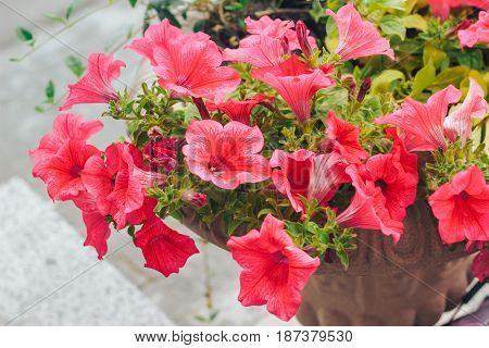 beautiful red Petunia planted in a pot in the garden