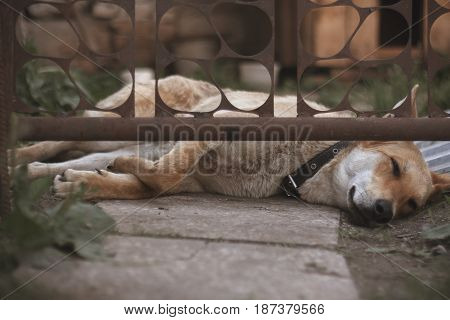 Guard Dog Sleep And Bored Under A Gate
