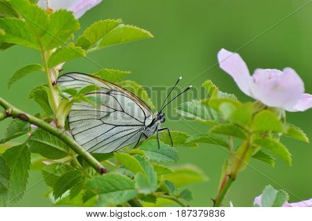 Aporia crataegi, Black Veined White butterfly in wild. White butterflies on wild rosses