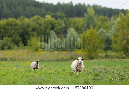 Sheep In The Sunny Field Eating Grass And One Watching