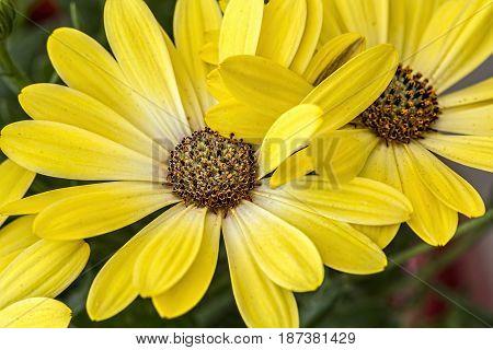 Macro shot of yellow daisy. Closeup. Background