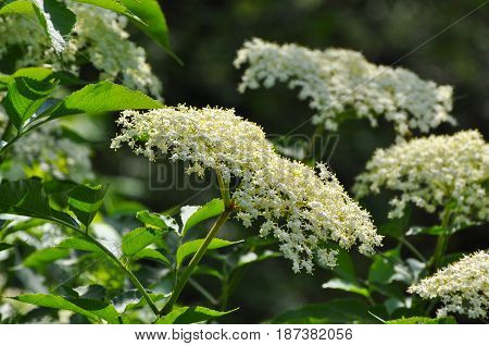 Elderflower or Sambucus nigra in full bloom in spring. Elderflower, European Elderberry, European Black Elderberry, Common Elder