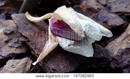 Wilted orchid flower lies on a tree bark