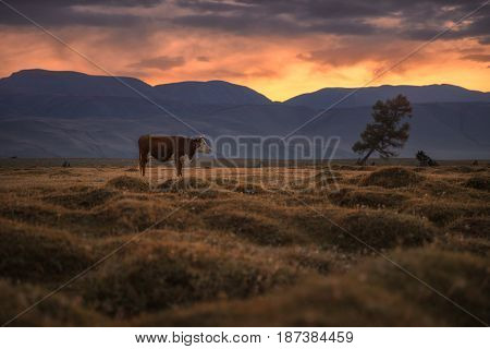 A cow grazing on an autumn field on the background of a setting sun, Altai region, Siberia, Russia