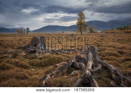 Old stumps on a background of a gloomy autumn landscape, Altai region, Siberia, Russia
