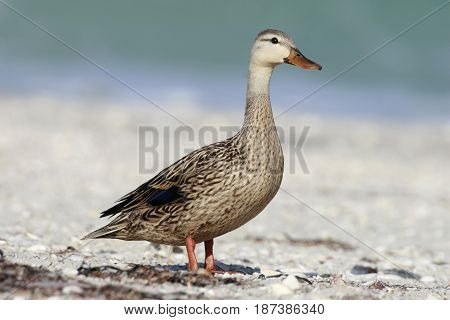 A Mottled Duck, anas fulvigula standing on the sand at a beach in Florida