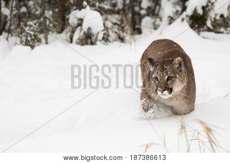 Mountain Lion In Snow With Pine Tree In Background