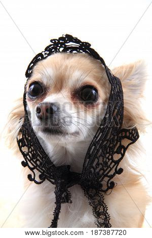 Chihuahua As Sweet Lady