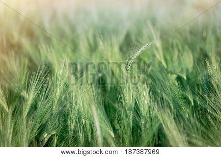 Green wheat field, unripe crop field lit by sunlight