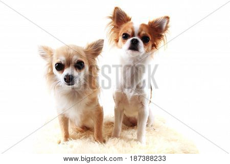 Two Chihuahua Is Resting