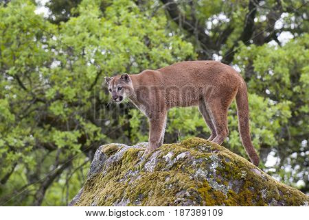 Mountain lion on lichen covered rocks in spring