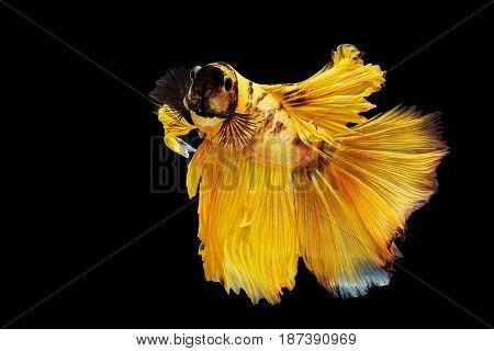 Yellow Thai Siamese Betta Fighting Fish
