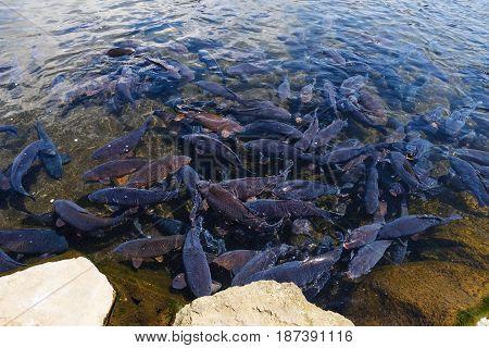 Black carp fish in Oshino Hakkai pond Yamanashi Japan