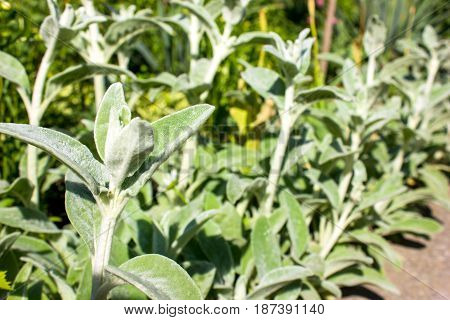 Full frame close-up Stachys byzantina (lamb's ears or woolly hedgenettle) ornamental plant grow in herbal garden