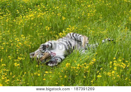 Amur (siberian) Tiger Kitten Playing In Yellow And Green Flowers On Spring Day