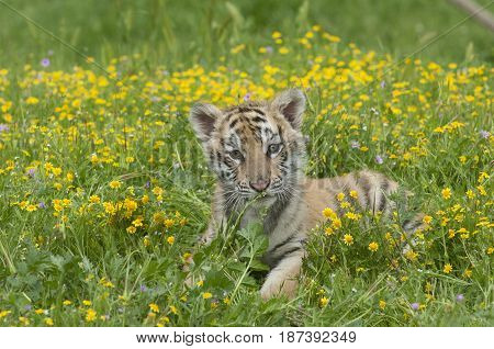 Amur (siberian) Tiger Kitten Laying In Yellow And Green Flowers On Spring Day