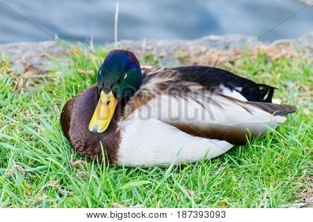 A Drake sits on the meadow beside the stream and rests