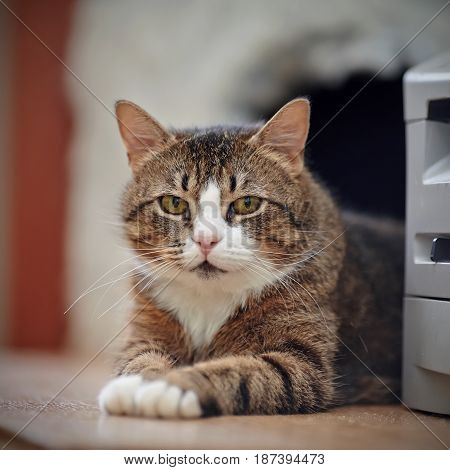Portrait of a striped cat with white marks.