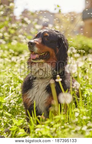 bernese mountain dog sitting in dandelions, toned image