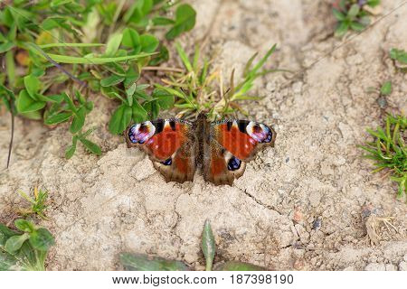 Red butterfly on the ground in spring