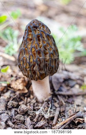Morel closeup in the foreground in spring
