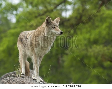 Coyote On Rock Searching For Next Meal With Green Trees In Background