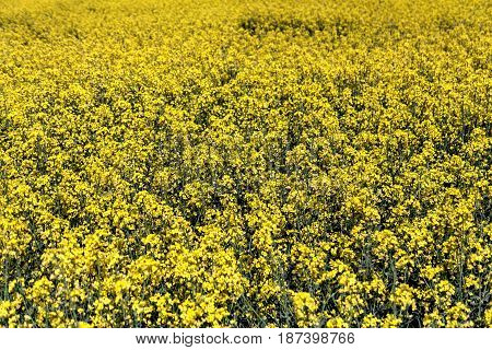 Yellow canola or rape field agriculture background spring nature landscape.