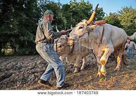 BASTIA, RAVENNA, ITALY - MAY 10: farmer leads the oxen that pull the plow recalling the old farm work during the festival