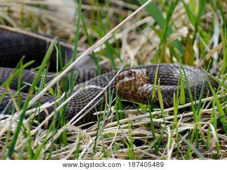 Female european adder Vipera berus nikolskii. Snake in wild nature