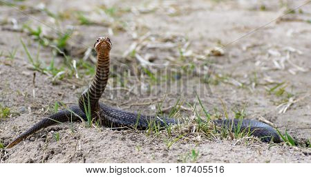 Female european adder Vipera berus nikolskii. Snake in wild nature looking right at you