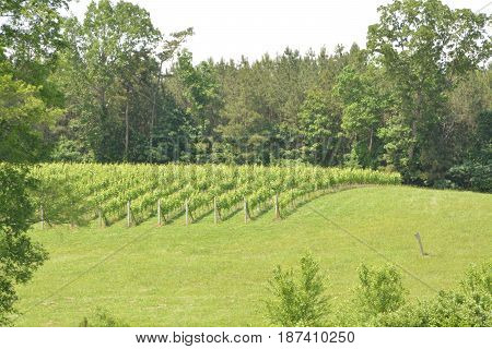Grape vines on the hillside of a rural vineyard