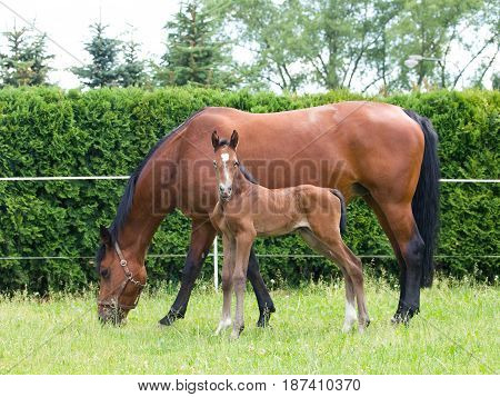 One day old newborn foal with mare on pasture
