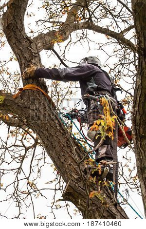 Lumberjack with saw and harness pruning a tree. Arborist work on old walnut tree