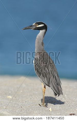 A Yellow Crowned Night Heron at the shoreline on a beach in Florida