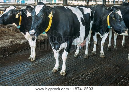 Cows in dairy farm. Dairy black and white cows. Modern cowshed