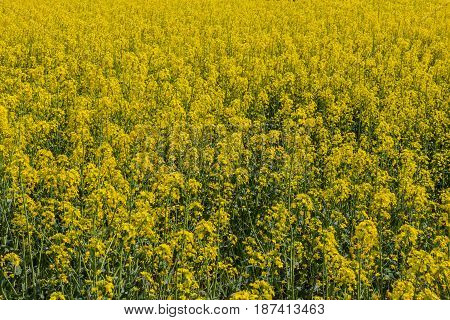 Plantation of blooming yellow rape as background