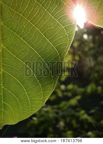 A walnut leaf captured in the afternoon, last summer