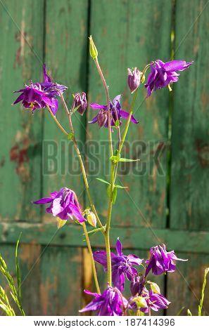 Aquilegia flowers. Aquilegia vulgaris - Common columbine on green door.