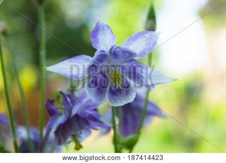 Aquilegia flowers. Aquilegia vulgaris - Common columbine isolated.