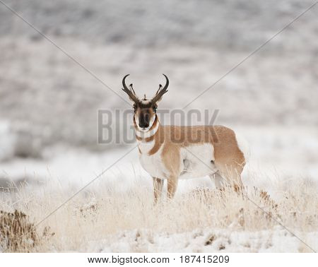 Male Pronghorn in brown grass and snow
