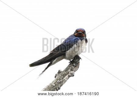 bird barn swallow sitting on a branch on white isolated background